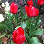 tulip07